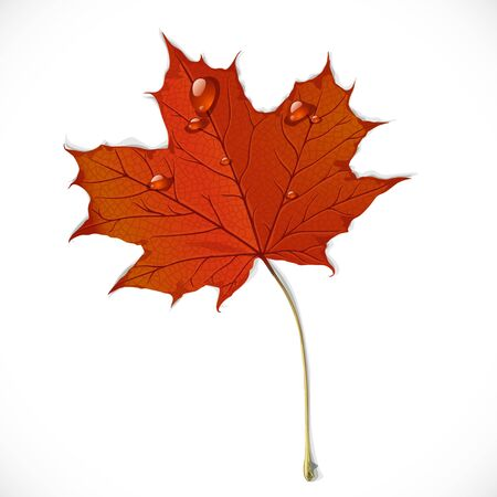 Red autumn maple leaf isolated on a white background