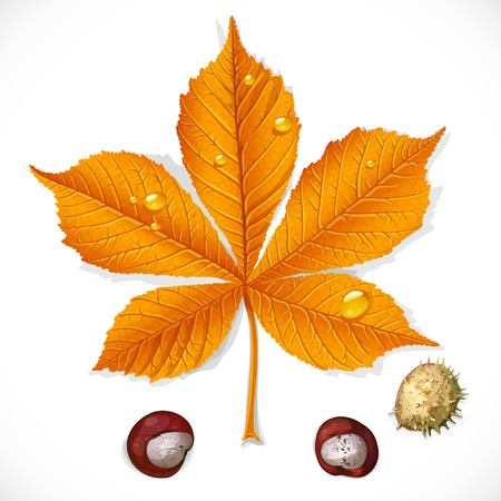 Yellow autumnchestnut leaf and chestnuts isolated on a white background