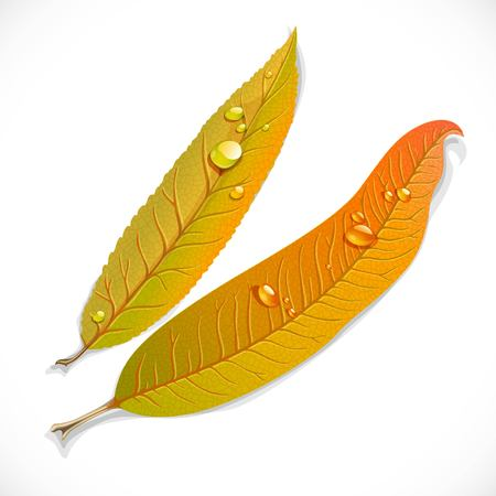 Yellow autumn long narrow willow leaves isolated on a white background Illustration
