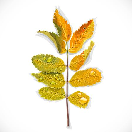 Yellow rowan autumn leaves isolated on a white background