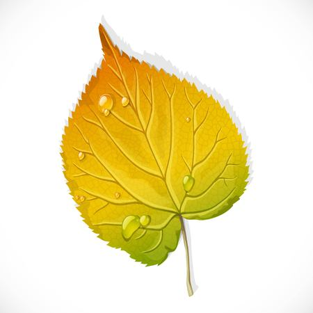 Autumn yellow and green leaf of a birch isolated on a white background