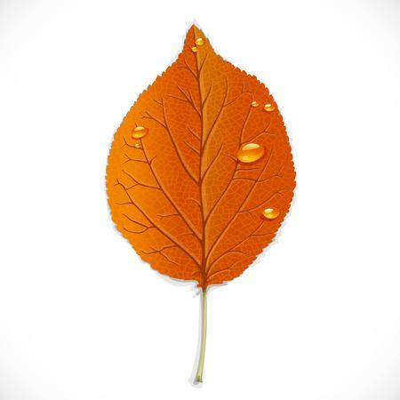 Orange autumn leaf isolated on a white background