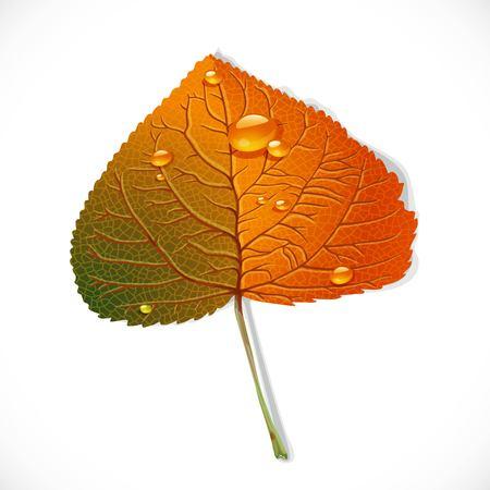 Hoja de álamo de otoño aislada en un fondo blanco