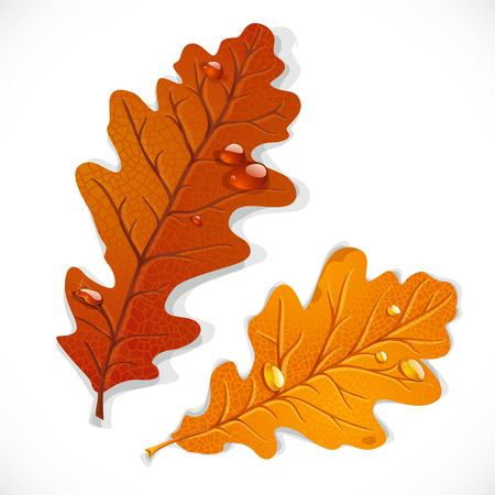 Red and yellow oak autumn leaves isolated on a white background