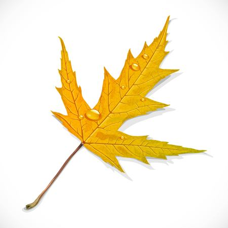 Yellow autumn maple leaf isolated on a white background
