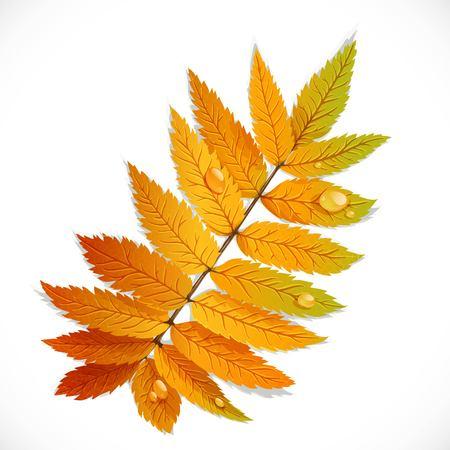 Autumn rowan leaf isolated on a white background