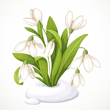 Spring flowers of snowdrops on green stems are punched out of the snow isolated on white background