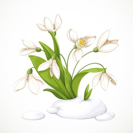 Spring white flowers of snowdrops on green stems are punched out of the snow isolated on white background Vectores