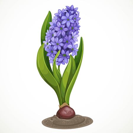 Blue hyacinth grows from a bulb in the soil isolated on a white background a spring flower.