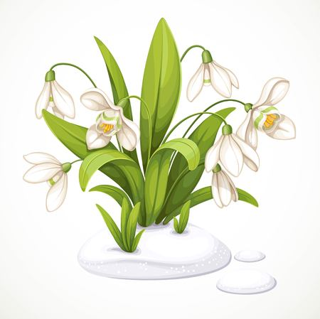 Spring flowers of snowdrops are punched out of the snow isolated on white background.