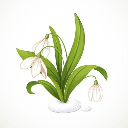 雪滴の小さな茂みの春の花は、白い背景に隔離された雪からパンチアウトされます。