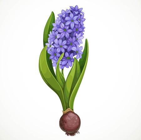 Blue hyacinth grows from a bulb isolated on a white background a spring flower