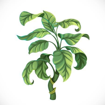Decorative tropical tree ficus isolated on white background