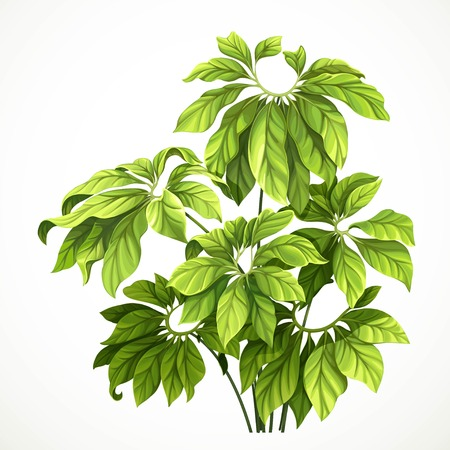 Tropical plant with large leaves object isolated on white background Vectores