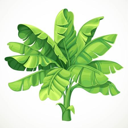 Palma bananowa z dużymi liśćmi na białym tle ilustracji wektorowych