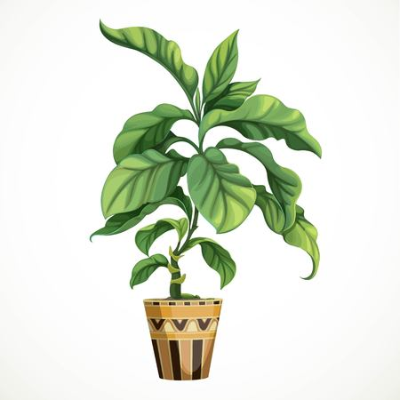 Decorative tropical tree ficus or diphenbafium in big pot isolated on white background