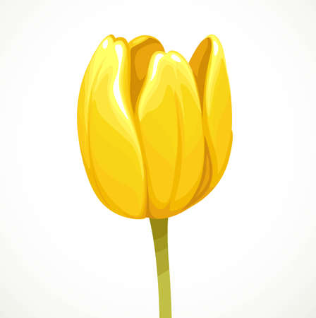 Yellow tulip flower half-open bud profile view isolated on white background