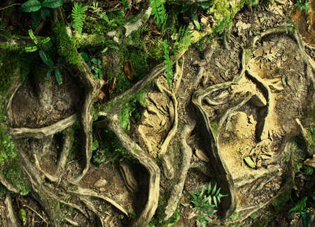 Natural tree roots in the forest