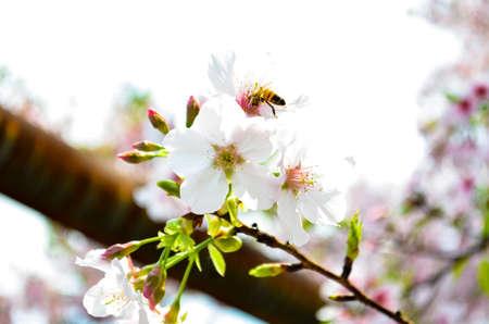 Sakura in Tamsui Taipei Tian Yuen Temple. Bee on the sakura on the time