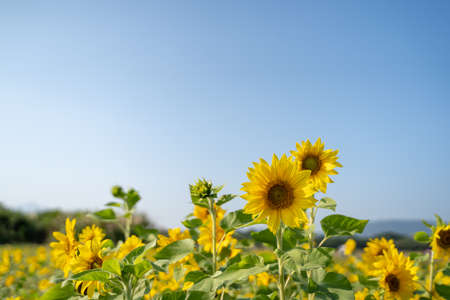 Colorful sunflower facing the sun with a blue sky background. Yellow sun flower booming in summer in the garden