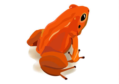Red poison frog from Costa Rica on a white background. Vector image.
