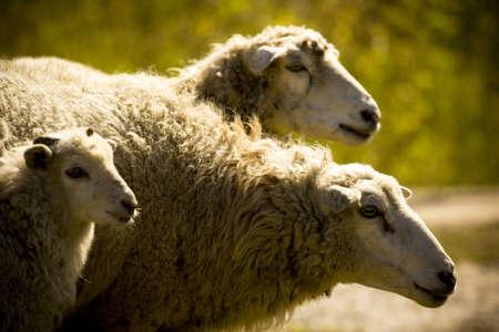 Three sheep on the nature photo