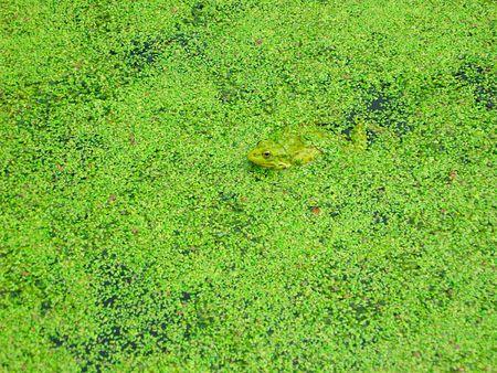 Frog in duckweed photo