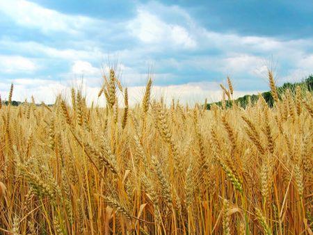 Die Weizenfeld. Der Blick auf die reifen Ähren