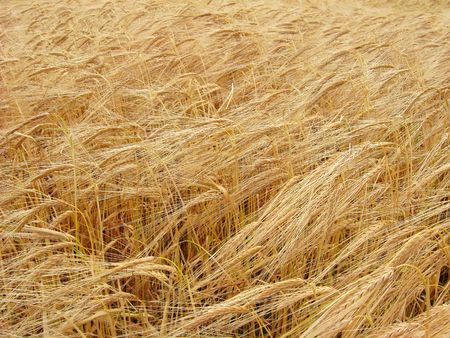 Ripe wheat Stock Photo - 6048242