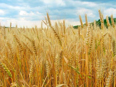밀밭입니다. 잘 익은 귀의보기입니다. 스톡 콘텐츠