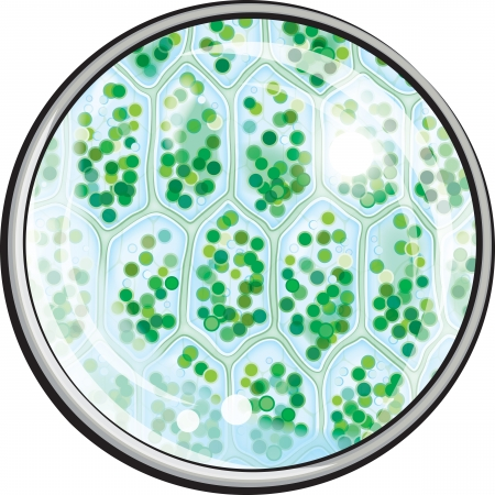 Chlorophyll. Pflanzliche Zellen unter dem Mikroskop. Dekorative Vektor-Illustration. Illustration