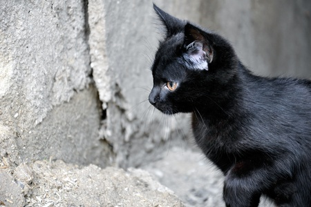 ludicrous: The little black kitten preparing to jump