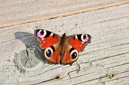 European Peacock butterfly (Latin: Inachis io) close up Stock Photo - 10727497