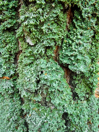 olden: Moss and lichen on the olden bark - Natural background  Stock Photo