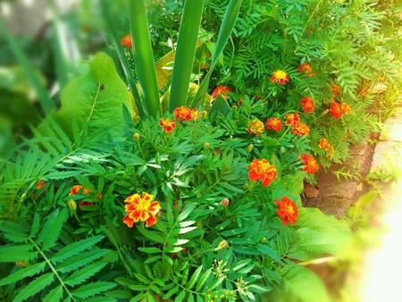 marigold: The Summer Flowers