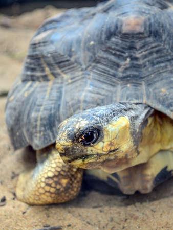 deceleration: The fierce eyes of a turtle in a zoo. Stock Photo