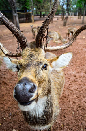 Deer in a zoo in Thailand are looking at the camera.