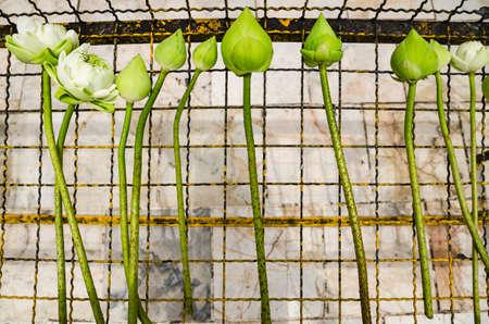 Prepared white lotus for worship the Buddha, Thailand.