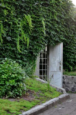 Hidden door overgrown ivy in the green garden. photo