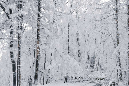 covered in snow: Winter landscape, winter forest with the trees covered by snow