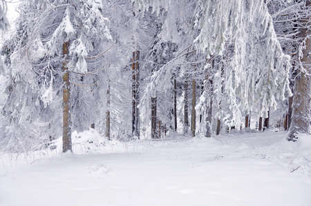 snow forest: Winter landscape, winter forest with the trees covered by snow