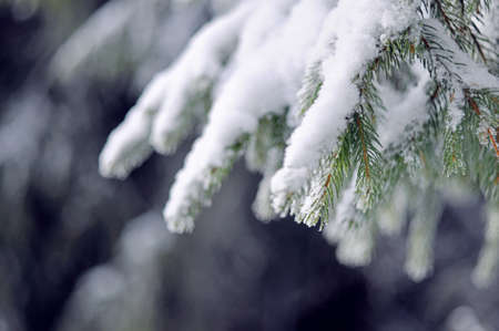 snow tree: Pine tree branches coverd with white snow