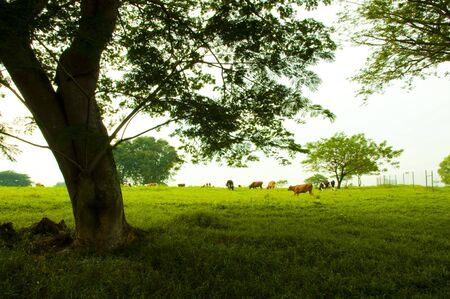 grazing land: Rural Landscape with cows