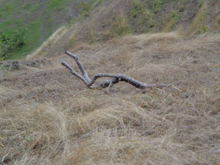 lack water: piece of dry tree lying on dry grass nature sad lack of rain and a little green.