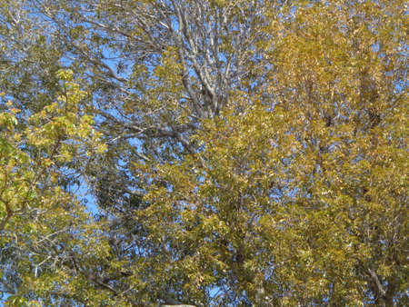 Natural landscape branches and leaves of fresh air and pure mahogany yellow and a little green leaves.