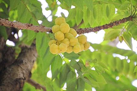gooseberry: Ma Yom  Star Gooseberry