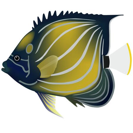 angelfish: blue-ringed angelfish; angelfishes; isolated on white; vector; illustration