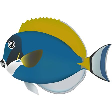surgeonfish: Powder blue surgeonfish real fish sea life illustration Illustration