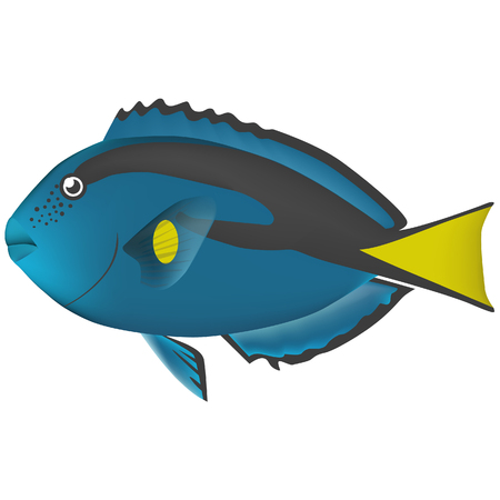 surgeonfish: Powder blue surgeonfish real fish sea life illustration Illustration