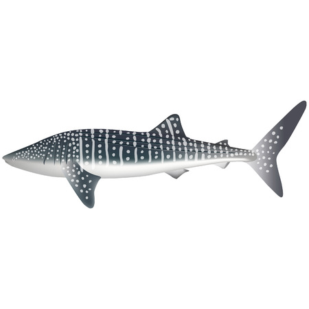 whale shark: Whale shark real fish sea life illustration